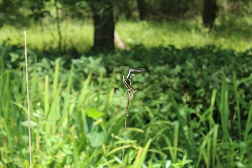 Dragonfly in Armand Bayou Nature Center, Texas.