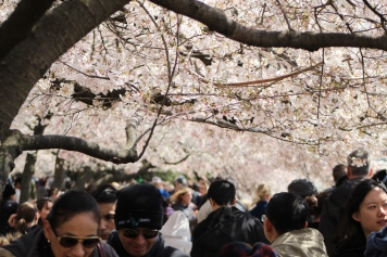 Crowds gather to view the cherry blossoms in Washington, D.C. on April 8, 2018