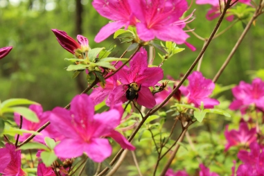 Save the bees! These carpenter bees were all over the place at the gardens.