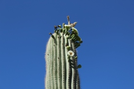 One of my favorite plants - the saguaro cactus!