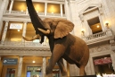 Elephant at the Museum of Natural History
