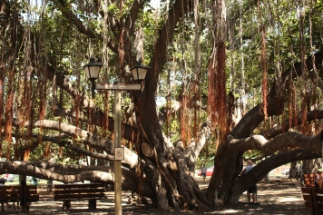 Beautiful Banyan Tree